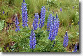 Picture of Lupine wildflowers