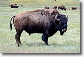 Bull bison at National Bison Range, Montana